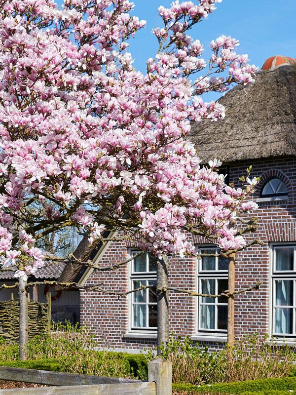 Aan de voorkant van een huis geven bomen zowel privacy als prachtige bloesem en bladeren