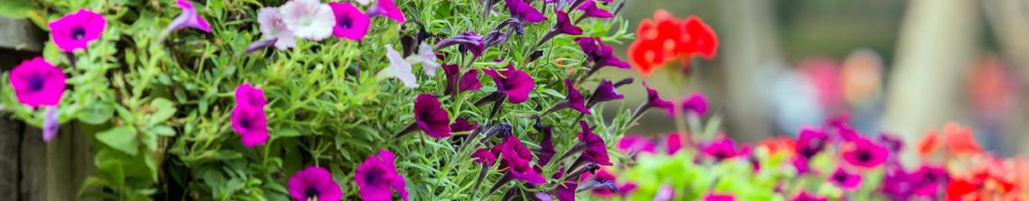 Eenjarige planten geven bloemen in vele verschillende kleuren, soorten en maten