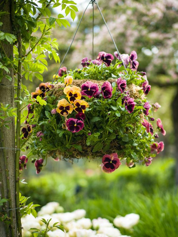 Met een hanging basket of door diverse hangplanten en violen met elkaar te combineren kunt u de hele zomer lang genieten van prachtige bloemen