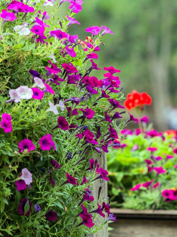 Zomerbloeiers bloeien de hele zomer lang en zijn ideaal voor in potten en bakken op het terras of balkon