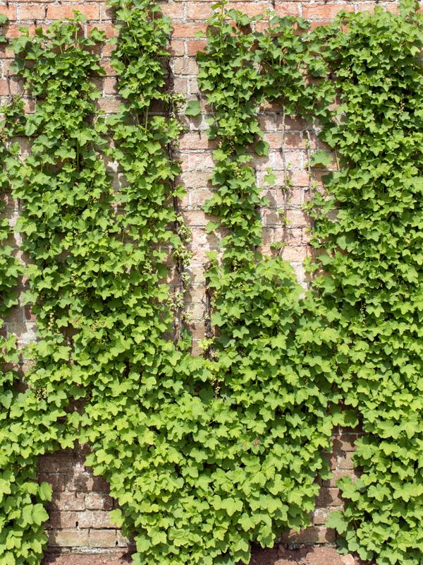 Druivenplanten zijn klimplanten die een groene oase kunnen vormen op een kale muur