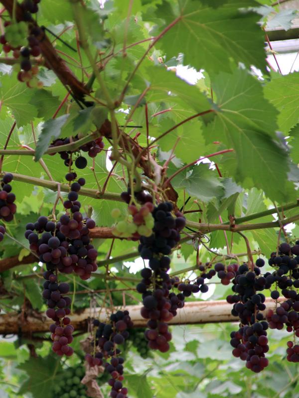 Druivenplanten kunnen tegen een pergola of gaaswerk groeien zodat u uw eigen verschillende soorten druiven kunt plukken