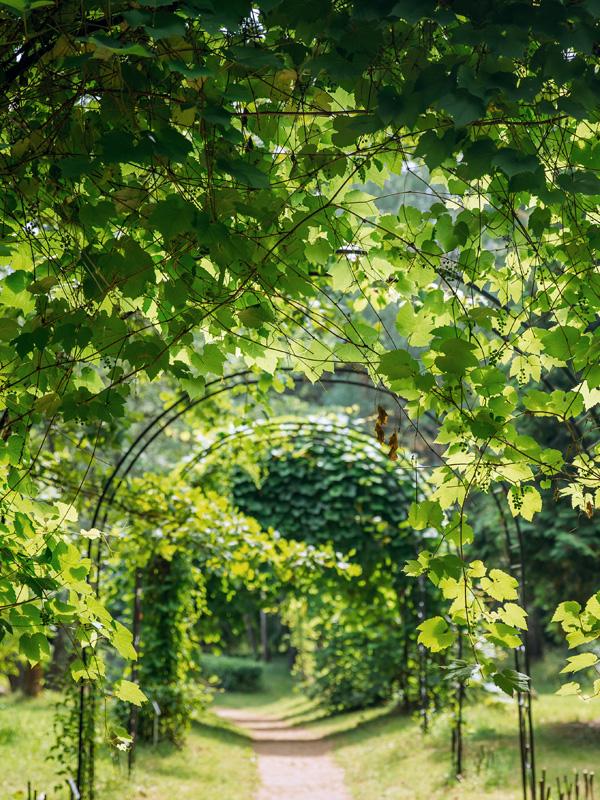 Druivenplanten geven een groene doorgang indien ze worden geleid langs een pergola
