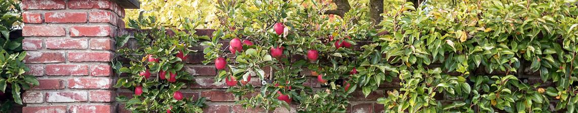 Op Tuinplantenwinkel.nl wordt er een groot assortiment fruitbomen aangeboden