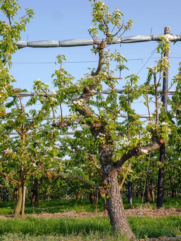 Fruitbomen kunnen worden onderverdeeld in soorten en maten