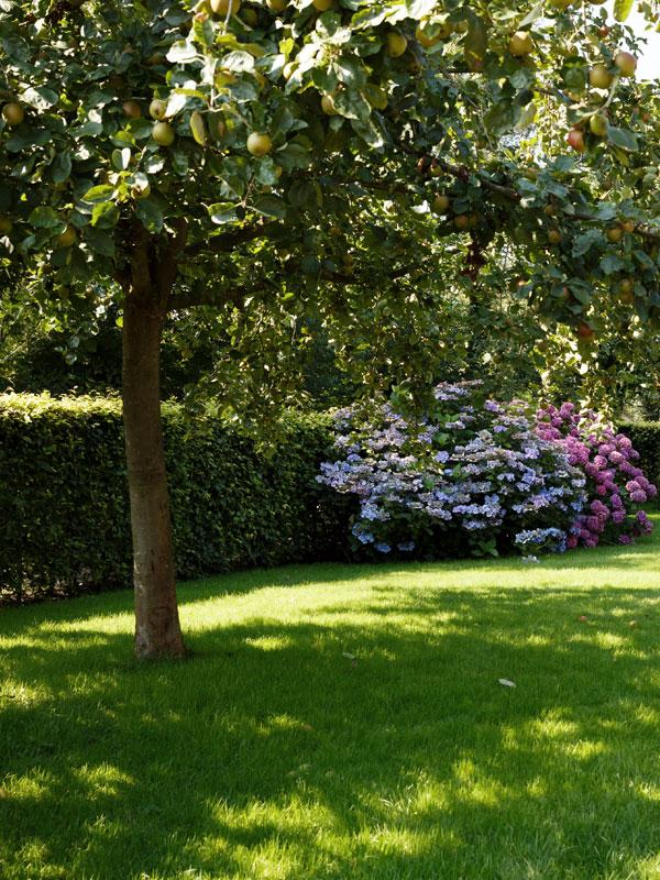 Een fruitboom geeft in de zomer zowel schaduw als heerlijke vruchten in uw eigen tuin