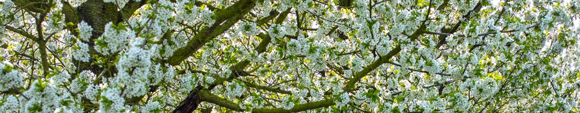 Fruitbomen zijn in veel verschillende soorten verkrijgbaar op Tuinplantenwinkel.nl