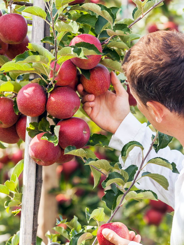 Appelbomen worden in verschillende soorten en maten aangeboden op Tuinplantenwinkel.nl. Zo zijn er bijvoorbeeld handappels, sterappels en moesappels.