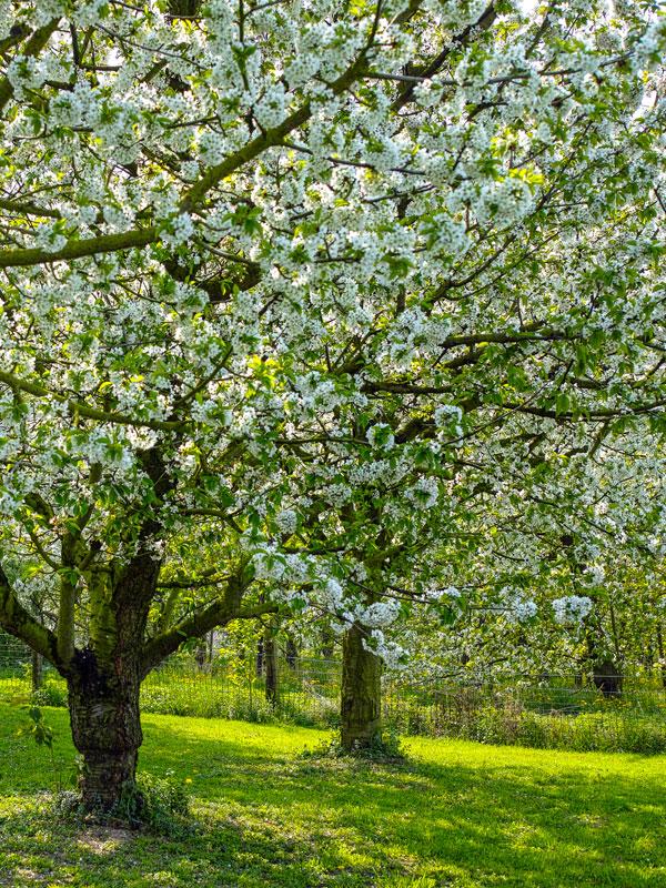 In deze tuin geven fruitbomen in het voorjaar prachtige bloesem