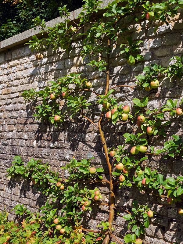 Alle soorten fruibomen hebben bij voorkeur een zonnige plek in de tuin