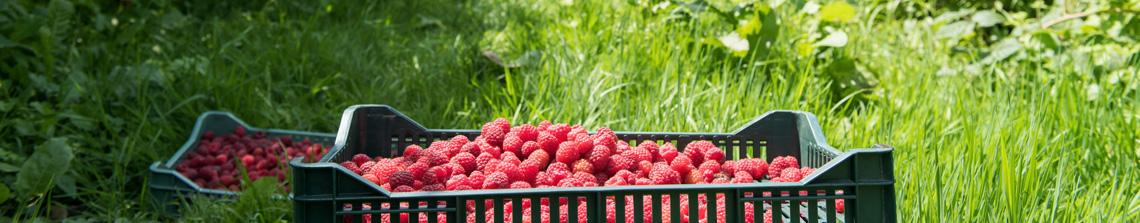 Kleinfruit planten zijn geschikt voor kleinere tuinen en geven een diversiteit aan zoete vruchten