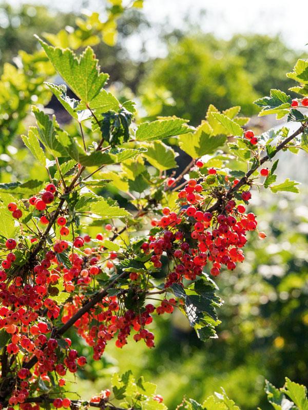 De rode aalbes, ofwel Ribes rubrum, geeft in de zomer prachtige rode zure bessen die u zo van de plant kunt plukken