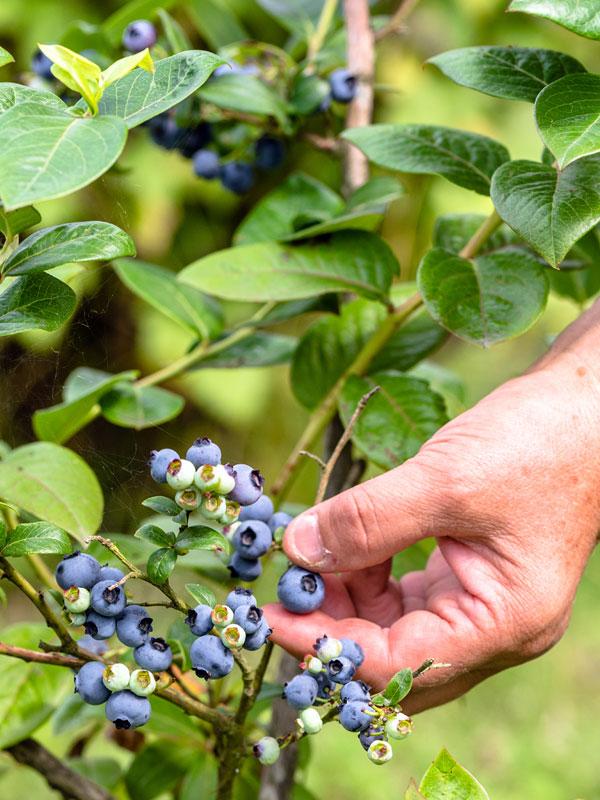 De blauwe bes is een kleinfruit plant die gezonde vitaminerijke vruchten geeft