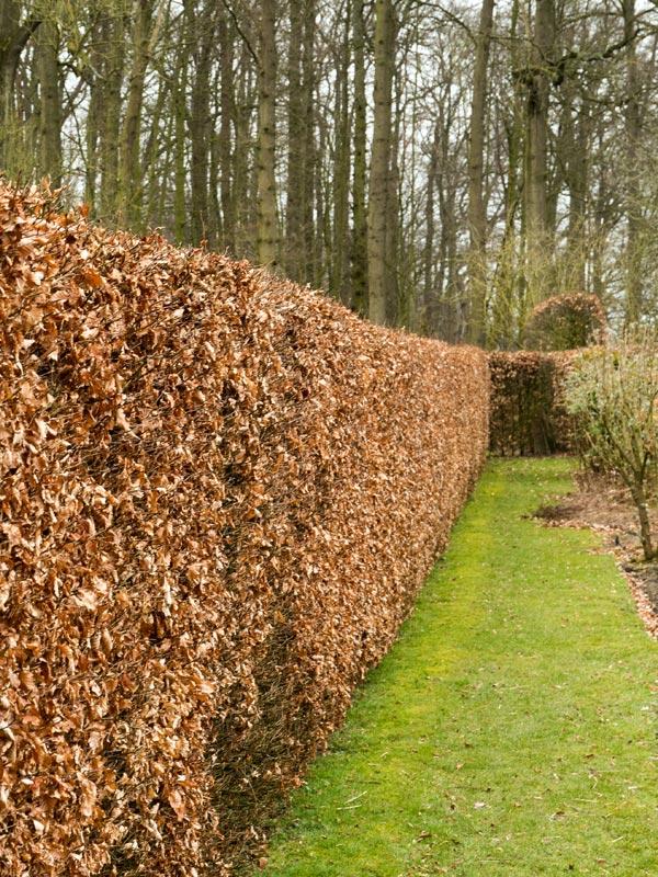 In de winter blijft het blad verdord aan de beukenhaag hangen zodat deze nog steeds voor privacy zorgt