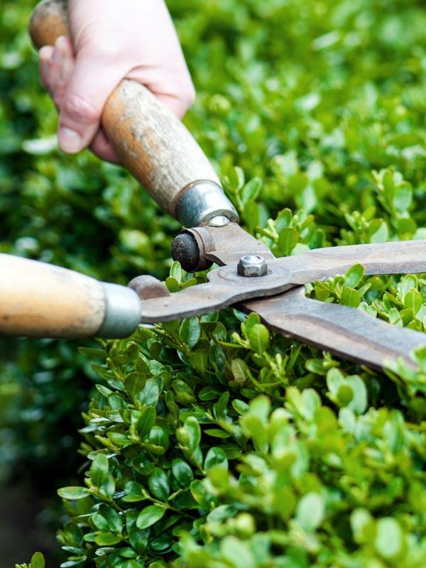 Buxus snoeien kan het hele jaar door maar wordt doorgaans gedaan aan het einde van juni of begin juli