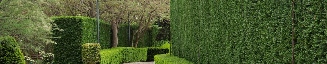 Coniferen kunnen worden gesnoeid tot strakke en dichte hagen die het hele jaar door groen blijven