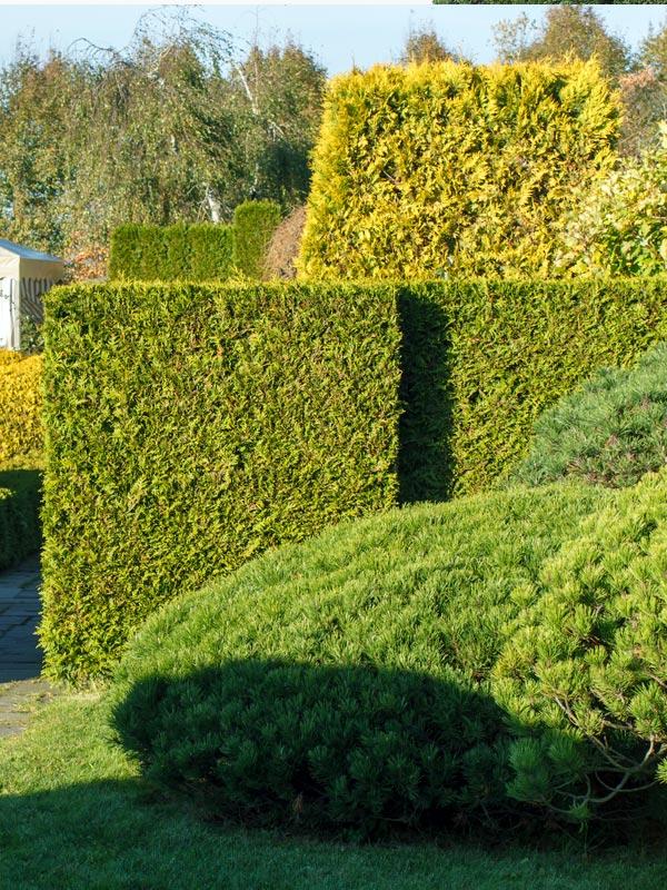 Haagconiferen groeien uit tot dichte, ondoordringbare hagen