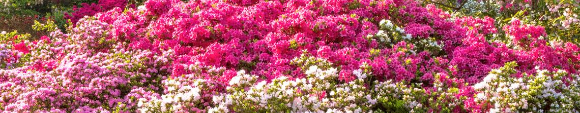 In het voorjaar bloeien de azalea's zeer rijk en zorgen ze voor een ware kleurenbom