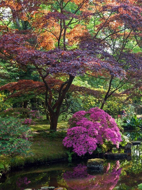 De azalea voelt zich thuis in de halfschaduw en past erg goed in tuinen met een Oosters tintje
