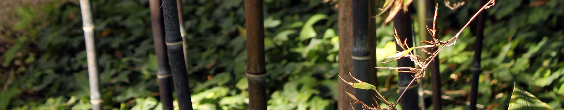 Deze zwarte bamboe of Phyllostachys nigra heeft opvallend zwart gekleurde twijgen of halmen