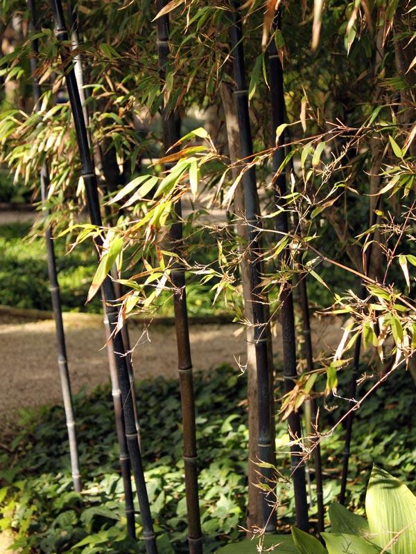 De kleuren van bamboestelen verschilt per soort, hier zijn de halmen zwart bij Phyllostachys nigra