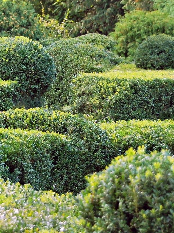 Buxus is altijd groen en geeft dus het hele jaar door kleur aan de tuin.