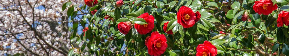 In het voorjaar zijn de bloemen van een camelia niet te missen. Deze rood bloeiende variant steekt prachtig af tegen het donkergroene blad