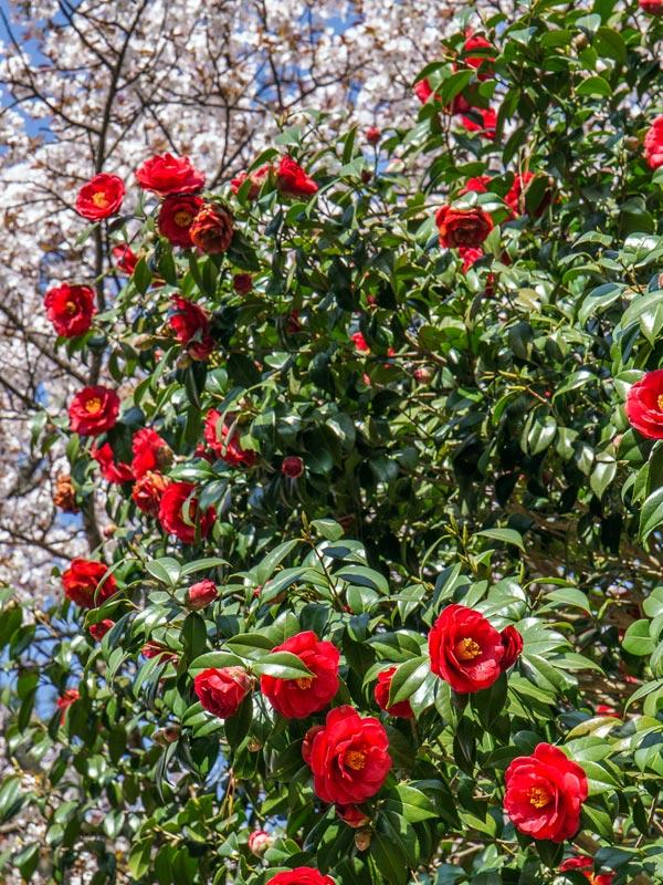 De camellia japonica is een echte voorjaarsbloeier.
