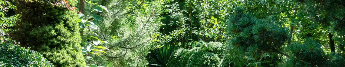 Coniferen zijn over het algemeen wintergroen en kunnen daarmee tot de ruggengraat van de tuin horen