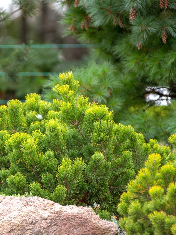 De kleuren van veel dennen zijn vaak in de winter nog mooier dan in de zomer zoals deze Pinus mugo 'Wintergold'.