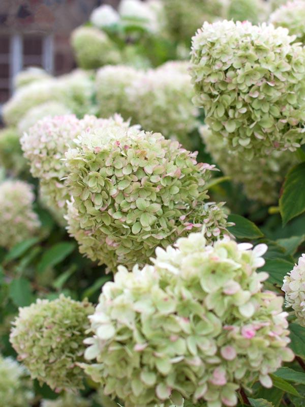 Pluimhortensia's bloeien de gehele zomer met opvallende puntvormige bloemtrossen
