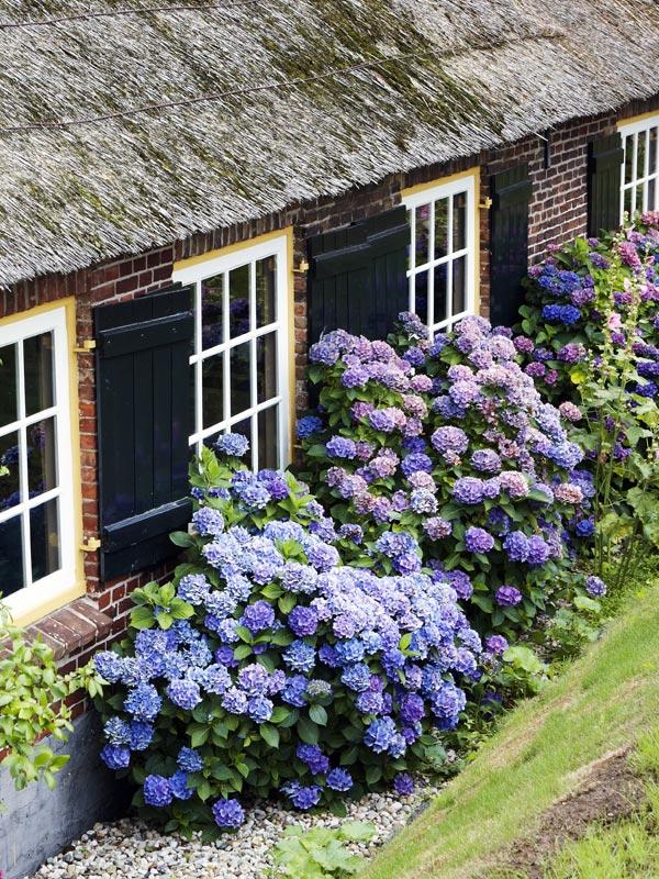 De boerenhortensia is verkrijgbaar in veel kleuren en bloeit heerlijk lang