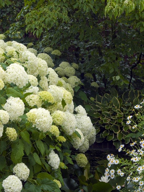 De Annabelle-hortensia of hortensia 'annabelle' is een bekende soort die met enorm grote witte bloemtrossen menig tuin siert