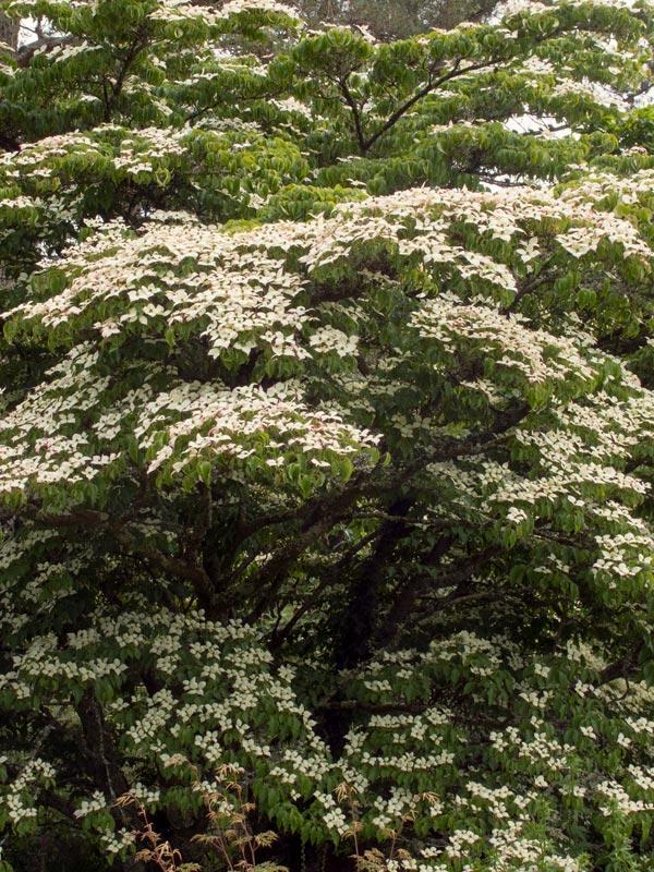 Cornus kousa bloeit met opvallende vaak roomwitte bloemen in juni