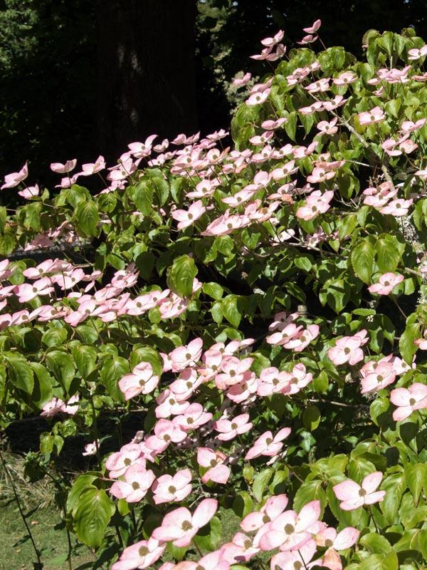 Van de cornus kousa is ook een roze bloeiende variëteit genaamd 'Satomi'