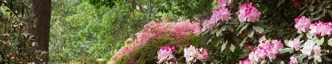 In het voorjaar steelt de rododendron de show