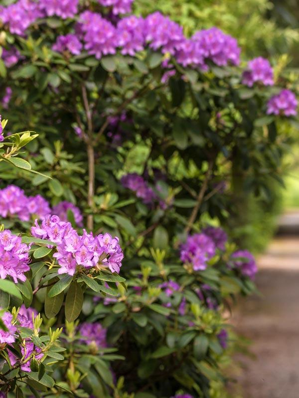 De meest klassieke Rhododendron is deze Rhododendron catawbiense 'Grandiflorum' met zijn paarse bloemen
