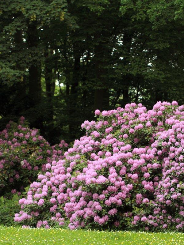 Rhododendron groeit vooral goed op schaduwrijke plekken aan de rand van bossen