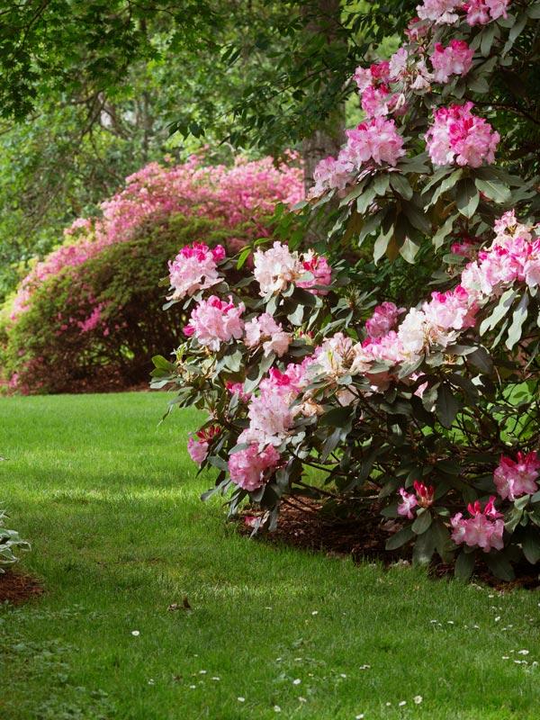 In het voorjaar steelt de rhododendron de show maar ook in de winter blijft de plant groen