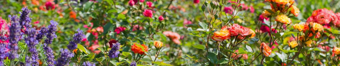 Rozen zijn misschien wel de kleurrijkste bloemen van allemaal en bloeien in ontzettend veel kleuren en kleurstellingen