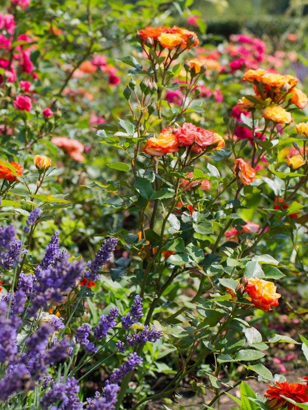 De kleurenpracht van rozen is soms onwaarschijnlijk mooi
