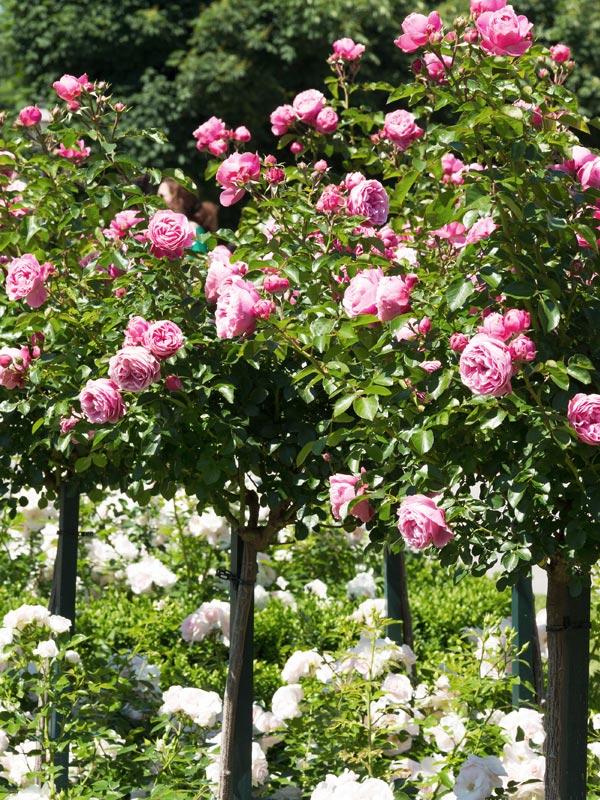 rozen zijn ook verkrijgbaar op stam geënt of geoculeerd
