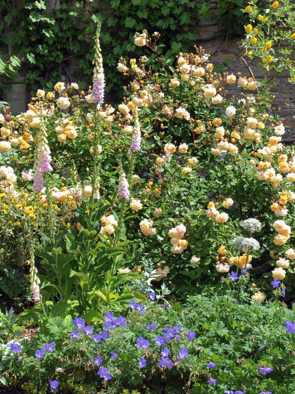 Sommige struikrozen kunnen uitgroeien tot flinke struiken en zijn geschikt om achterin de borders aan te planten
