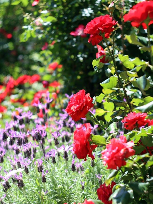 Klassieke rode rozen doen het altijd goed en veel rozen zijn ook prima te gebruiken als snijbloem