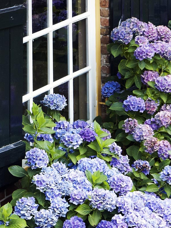 Hortensia zijn een van de populairste heesters en in vele kleuren en soorten verkrijgbaar