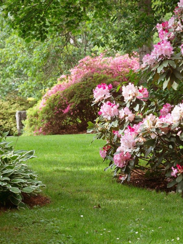 In de schaduw voelt de rhododendron zich goed thuis