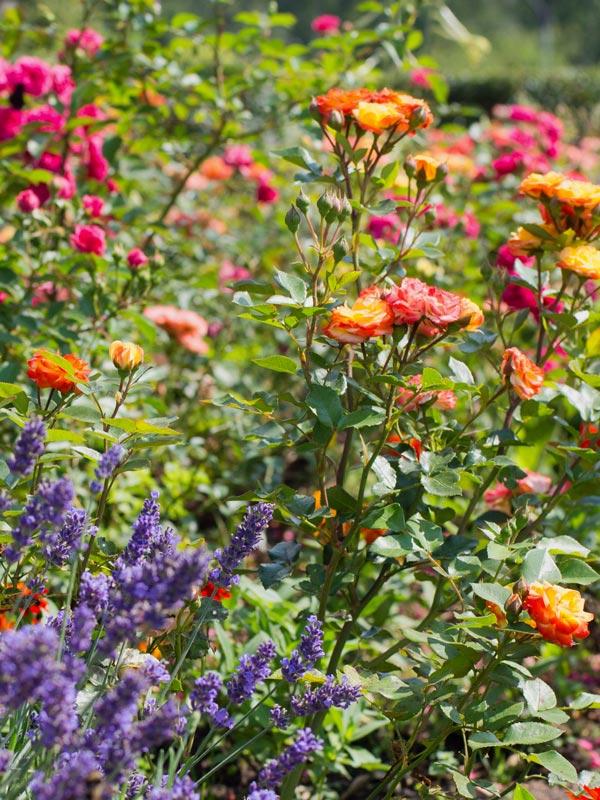Rozen bloeien vaak de gehele zomer en laten zich goed combineren met andere heesters en vaste planten zoals lavendel