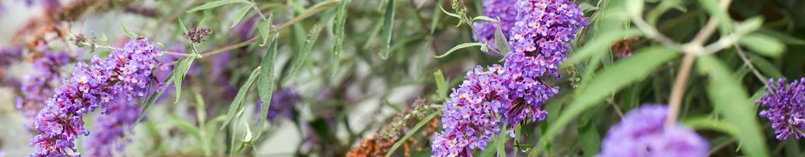 Vlinderstruiken bloeien prachtig in de zomer met kleurrijke bloemtrossen