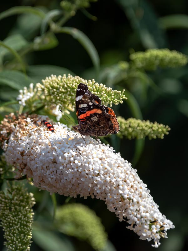 Als er een plant is waar vlinders verzot op zijn dan is het de vlinderstruik