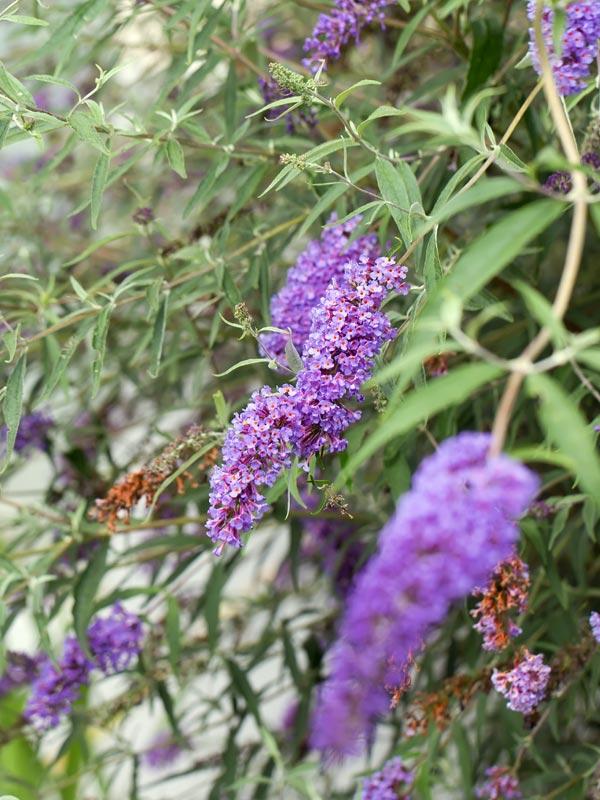 Vanaf juli tot in september bloeien vlinderstruiken met kleurrijke trossen